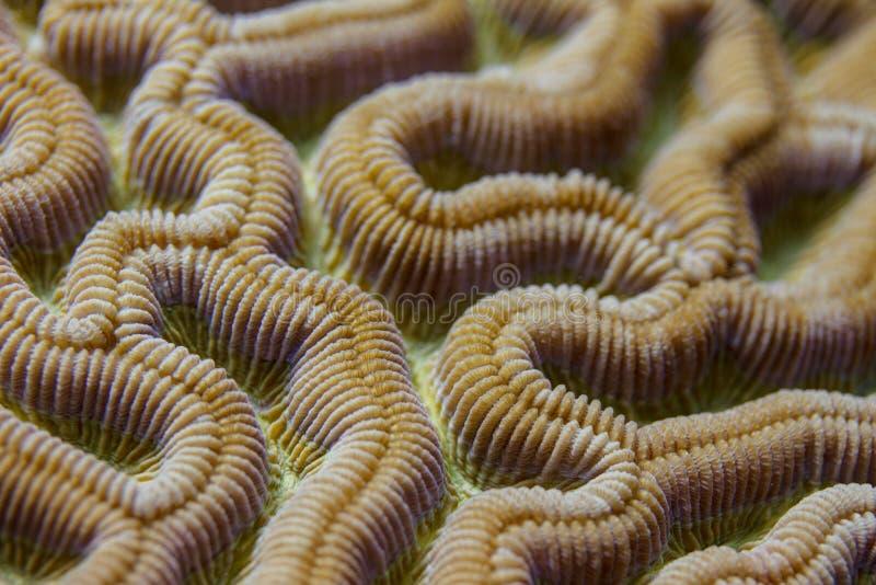 Closeup of Boulder Brain Coral Pattern royalty free stock image