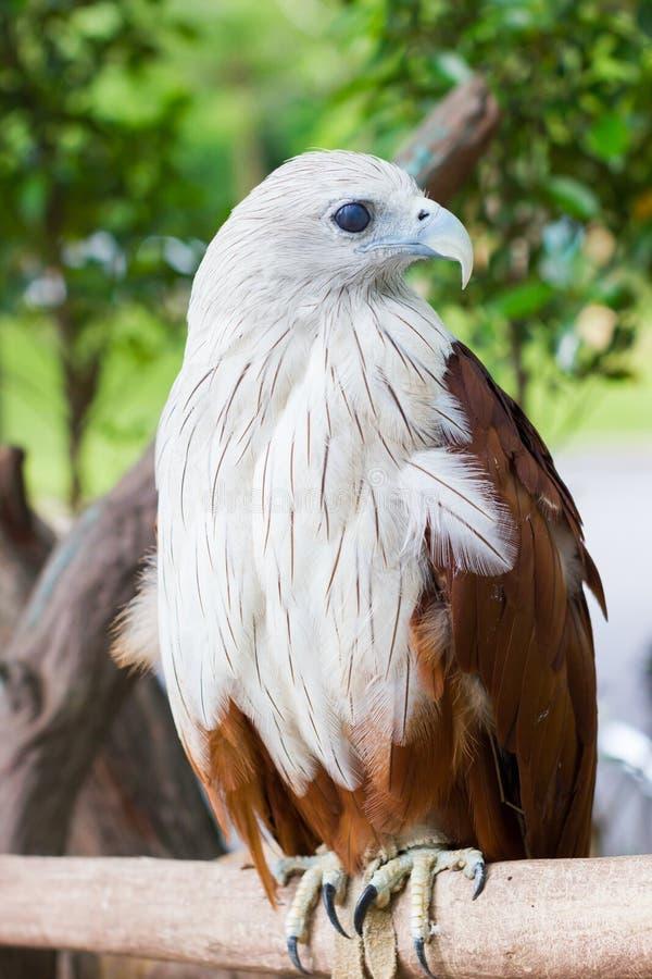 Closeup Brahminy Kite. Red-backed Sea Eagle. Thailand, vertical. stock image