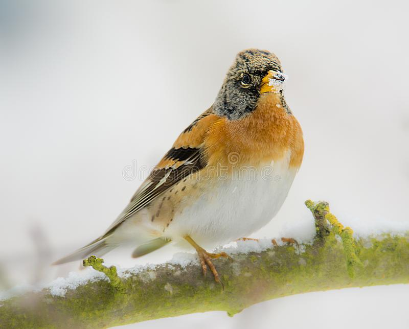 Closeup of a brambling bird royalty free stock image