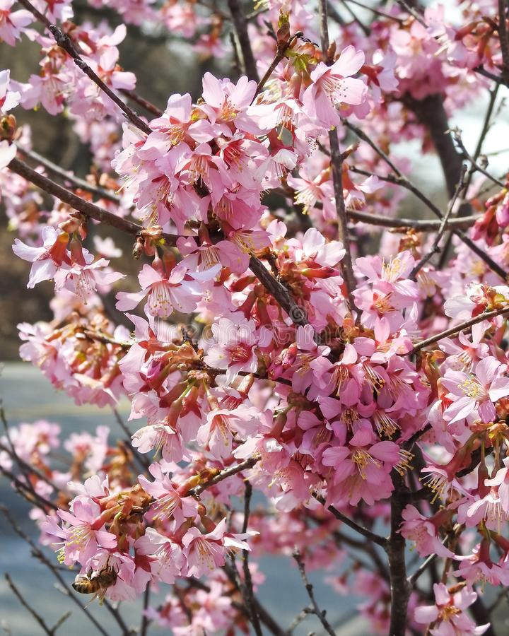 Closeup of a Branch of Pink Cherry Blossoms stock photo