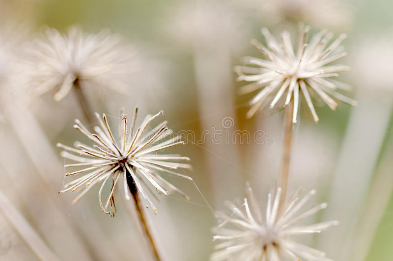 Closeup of branches of old angelica. Short depth of focus stock photography