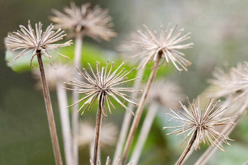 Closeup of branches of old angelica. Short depth of focus royalty free stock photography
