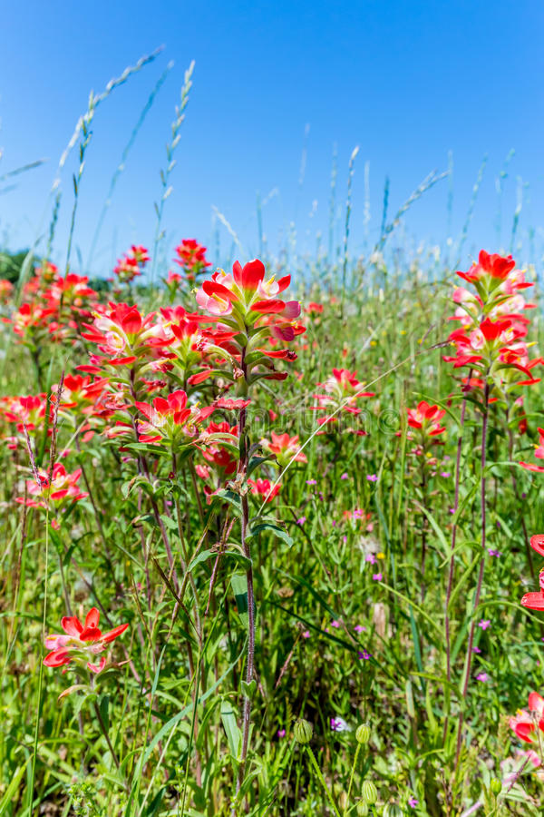 Closeup of Bright Orange Indian Paintbrush Wildflowers in Texas royalty free stock images