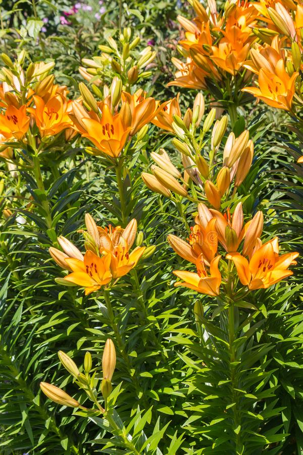 Bright orange lily flowers and buds stock photos