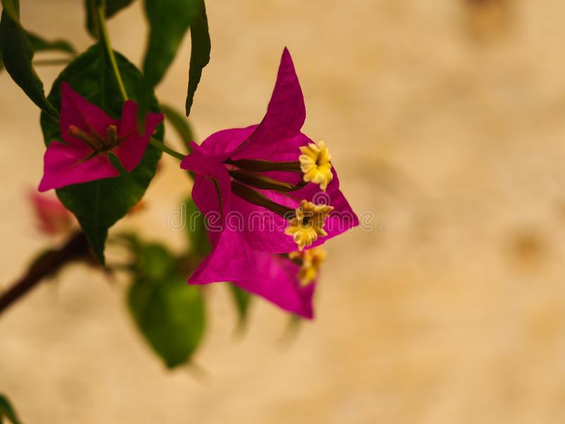 Bright pink Bougainvillea glabra flower. Closeup of bright pink Bougainvillea glabra flowers in front of a light wall background royalty free stock images