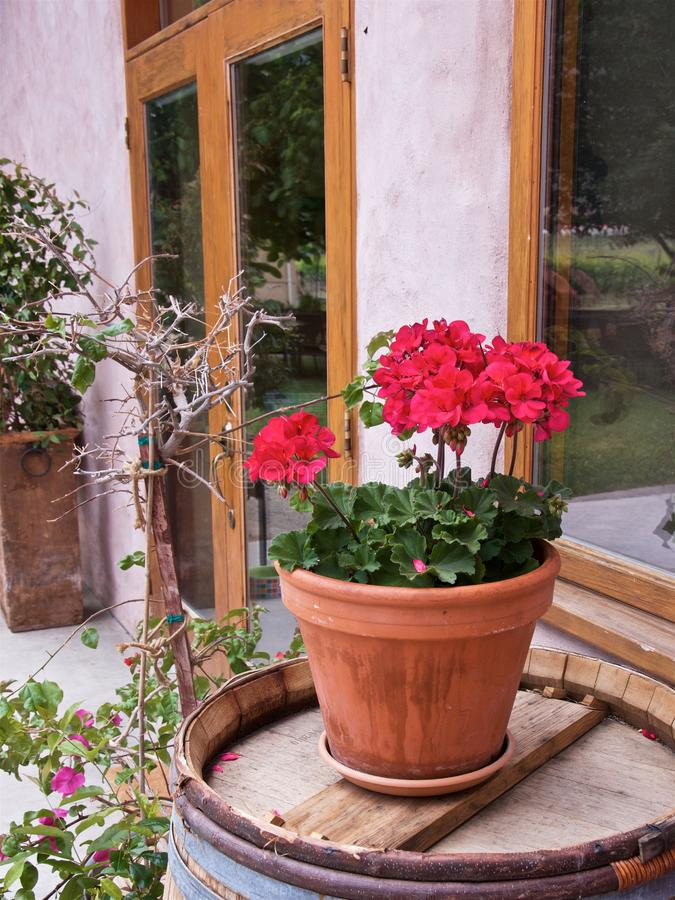 Closeup of red geranium in a ceramic pot on a wooden barrel royalty free stock photo
