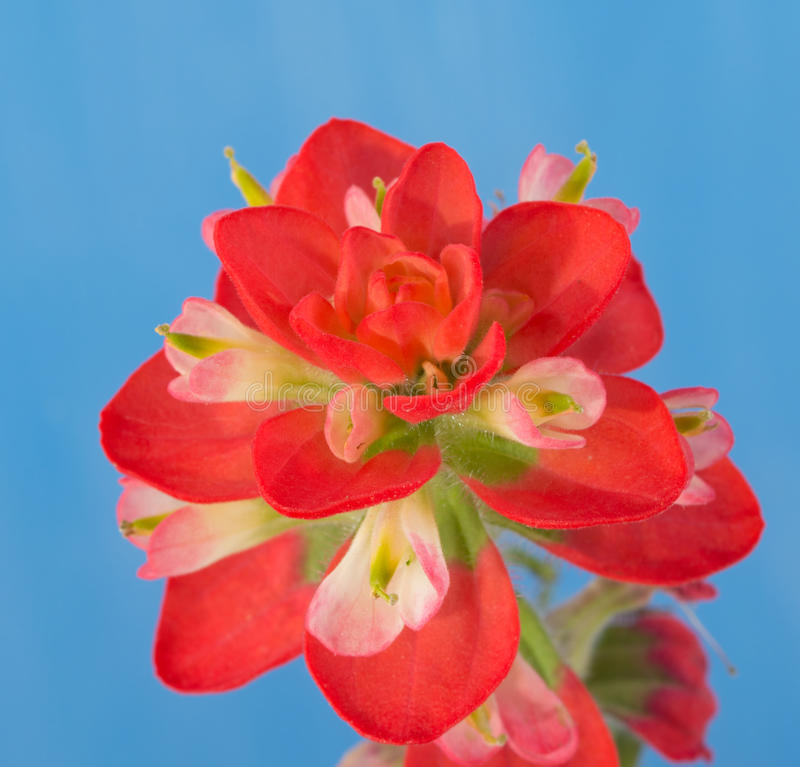 Closeup of a bright red Indian Paintbrush flower stock images