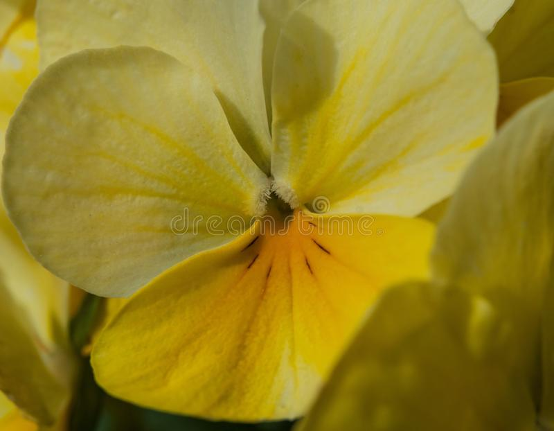 Closeup of bright yellow spring flowers, stock image