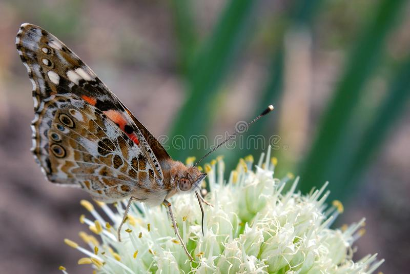 Closeup brown butterfly on white onion flower stock photography