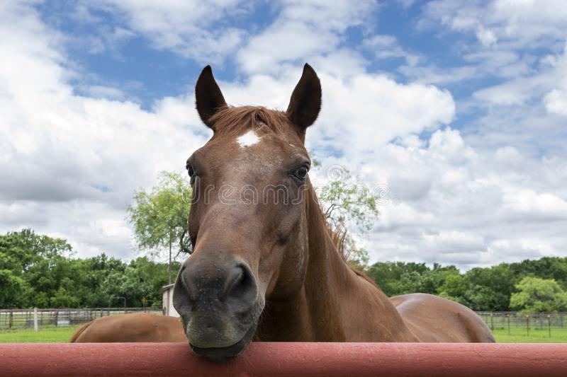 Closeup of Brown Horse Looking Over Metal Pipe Fence. Closeup of a brown horse with a white star on its forehead looking over a red orange metal pipe fence royalty free stock photos