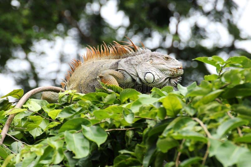 Closeup Brown Iguana Stock Photo