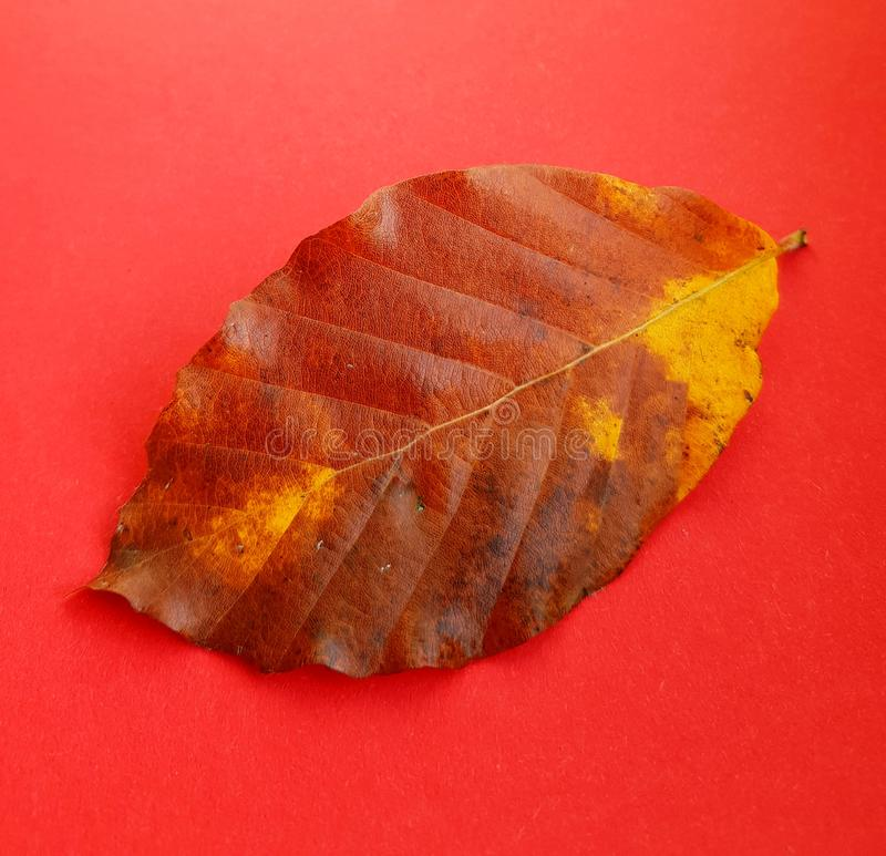Closeup of brown leaf. Autumn color of leaf on red backdrop. royalty free stock images