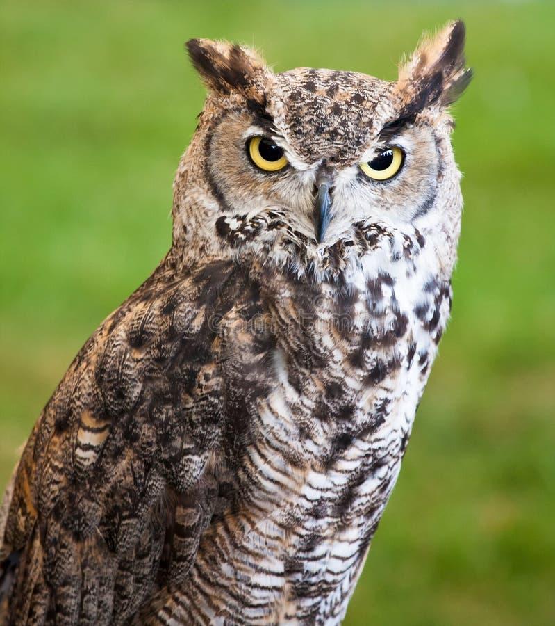 Closeup Of A Brown Owl Stock Photos