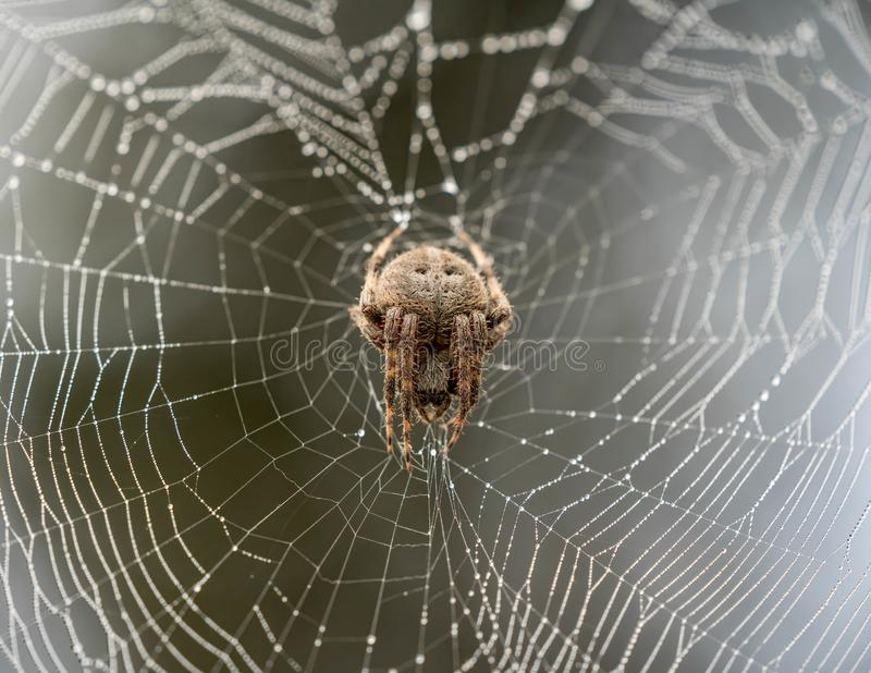 Closeup of a brown spider climbing on a spider web with a blurry background royalty free stock photo