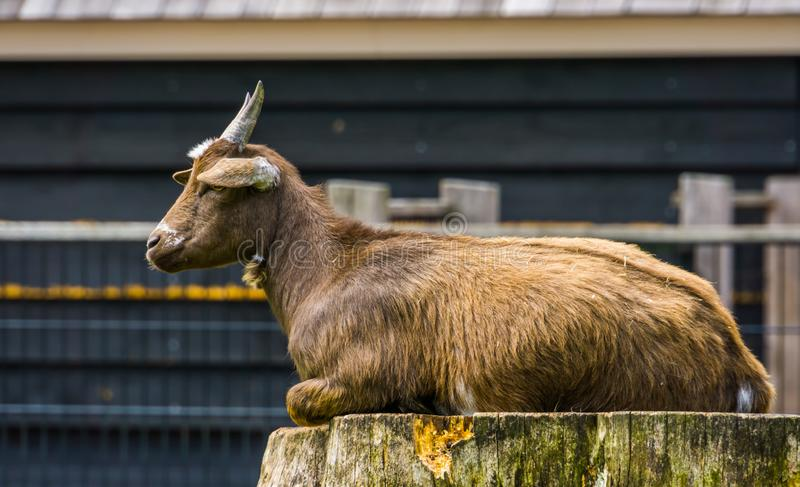 Closeup of a brown west african dwarf goat sitting on a tree stump, popular wild goat specie, Farm animals. A closeup of a brown west african dwarf goat sitting royalty free stock photos