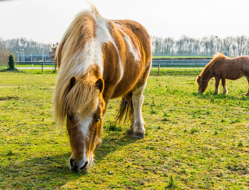 Closeup of a brown with white blotched horse eating some grass, pony grazing in the pasture stock photography