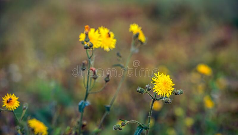 Budding and flowering field milk thistle from close royalty free stock photo