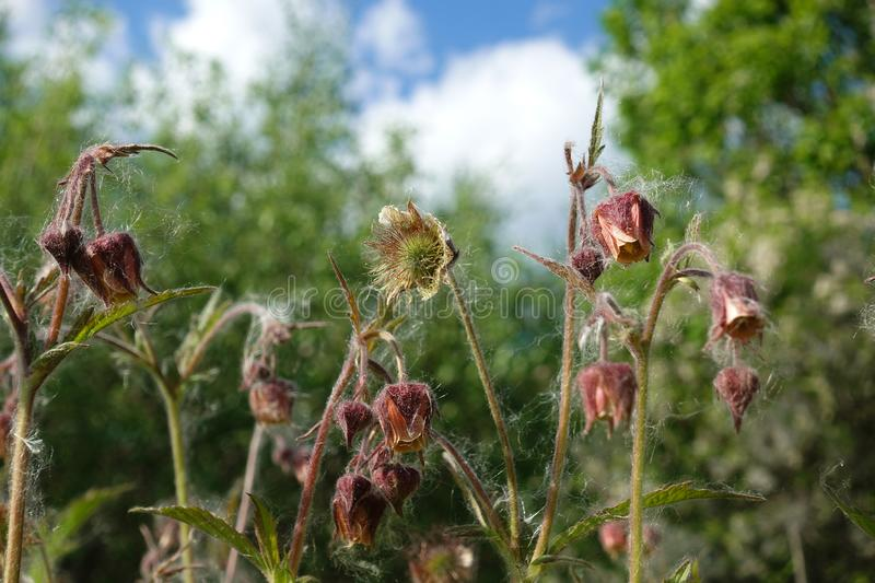 Closeup of buds, flowers and overblown seed heads of thistle plants in backlit stock image