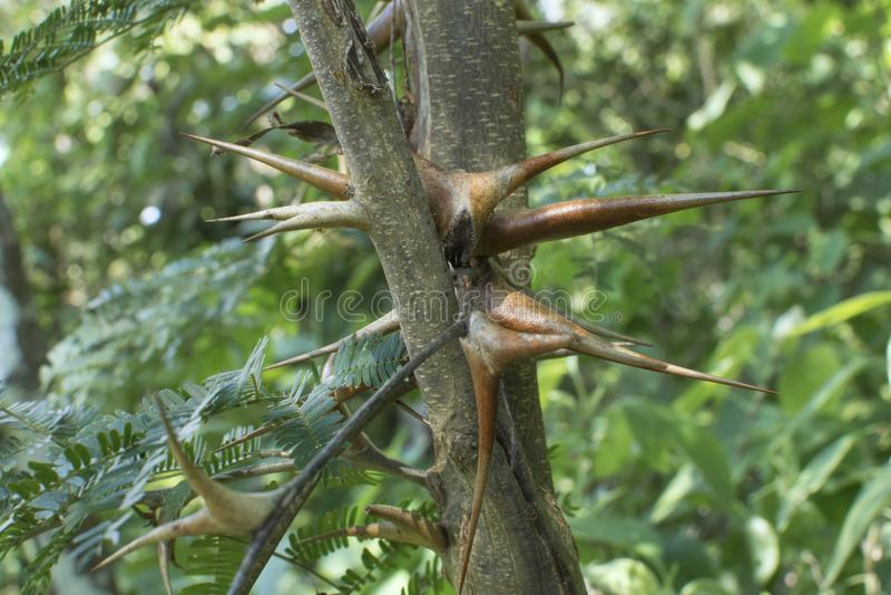 Closeup bullhorn acacia thorns in natural habitat. Closeup Vachellia cornigera bullhorn acacia thorns on branch in natural environment royalty free stock photos
