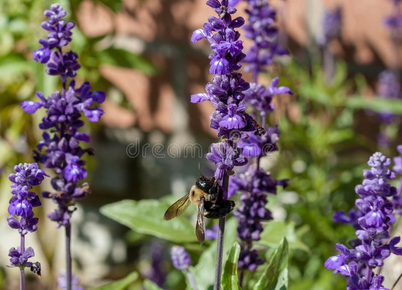 Closeup of a bumble bee Bombus pensylvanicus on purple flowers royalty free stock photos