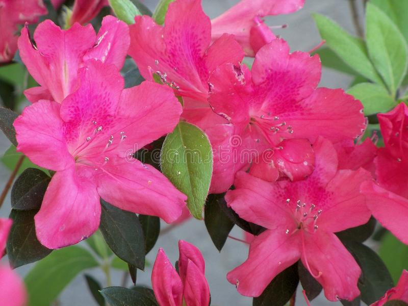 Close up of dark pink Azaleas. Closeup of a bunch of frilly dark pink Azalea flowers in full bloom royalty free stock photo