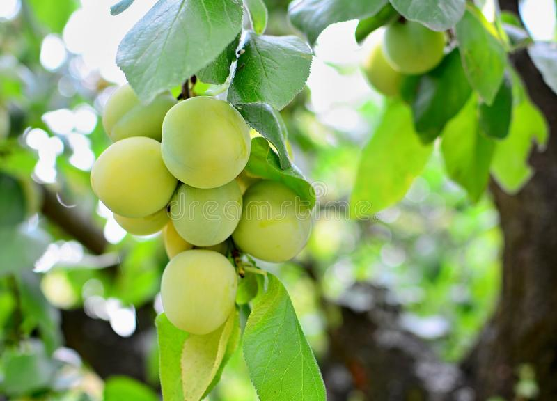 Bunch of greengage plums on tree. Closeup of the bunch of growing ripe greengage plums on the tree stock images