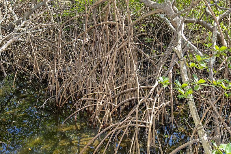 Wetlands Mangrove Roots royalty free stock images