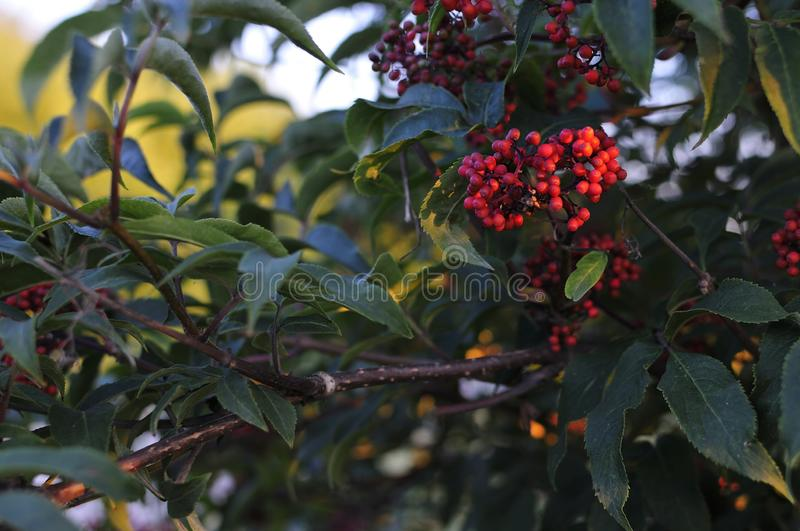 Closeup of bunches of red berries of Guelder rose or Viburnum. Shrub on a sunny day at the end of the summer season. Sun rays and. Tree leaves. Close-up photo royalty free stock photos