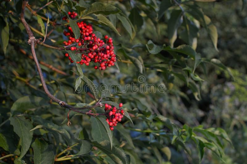 Closeup of bunches of red berries of Guelder rose or Viburnum. Shrub on a sunny day at the end of the summer season. Sun rays and. Tree leaves. Close-up photo stock photo