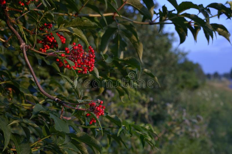 Closeup of bunches of red berries of Guelder rose or Viburnum. Shrub on a sunny day at the end of the summer season. Sun rays and. Tree leaves. Close-up photo royalty free stock photo