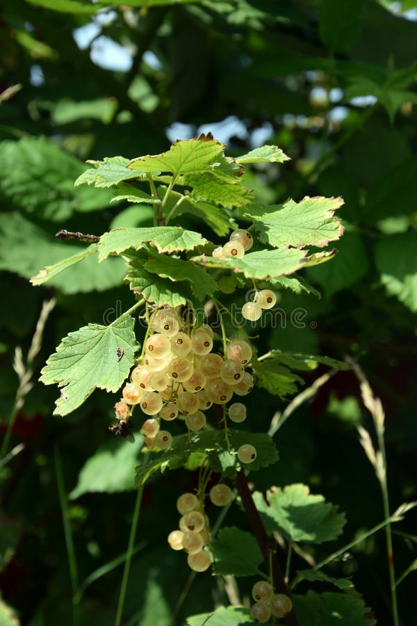 Bunches of white currant on a bush royalty free stock image