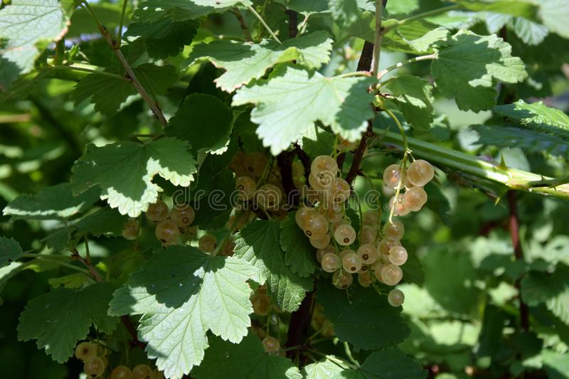 Bunches of white curranton a bush royalty free stock image