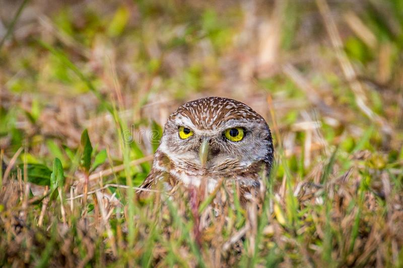 Burrowing Owl. Closeup of Burrowing Owl Athene cunicularia in Cape Coral Florida royalty free stock photo