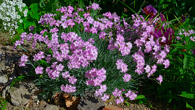 The closeup of the bush of pink carnations Dianthus japonicus. The closeup of the bush of pink carnations Dianthus japonicus, the delicate flowers of the Black stock images