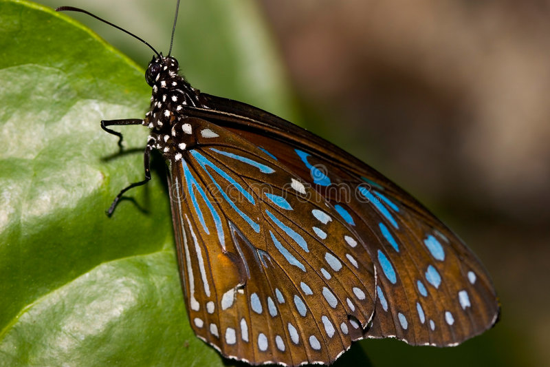 Download Closeup of a Butterfly stock image. Image of brown, blue - 91357