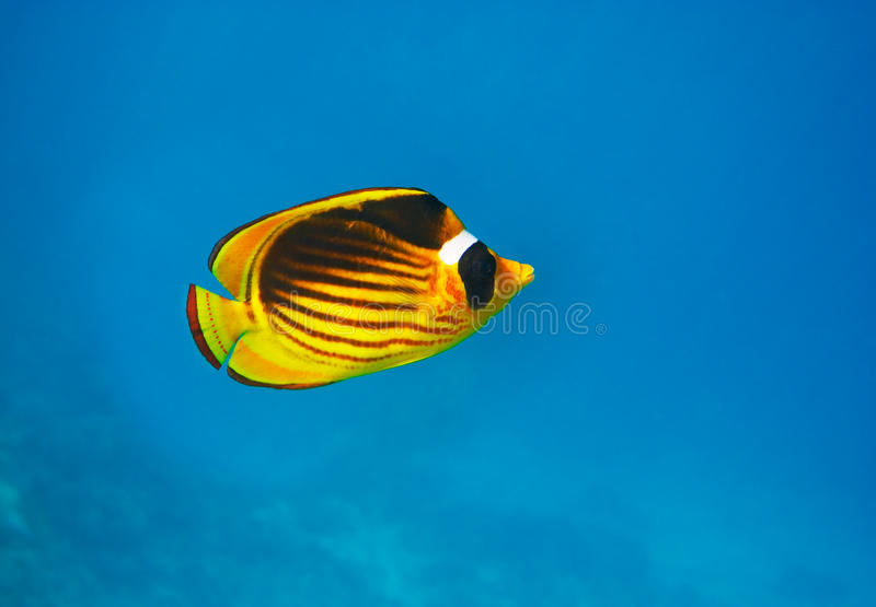 Closeup of butterfly fish - underwater shot stock images