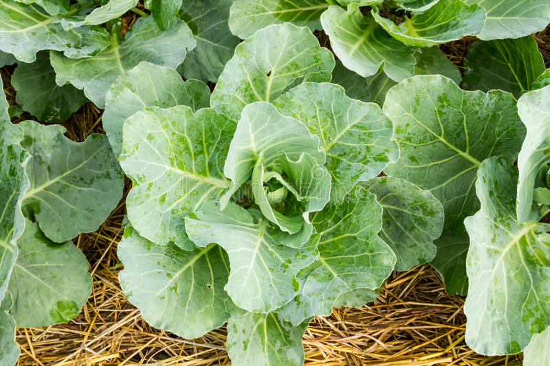 Closeup cabbage. Seedlings grown in a field stock image