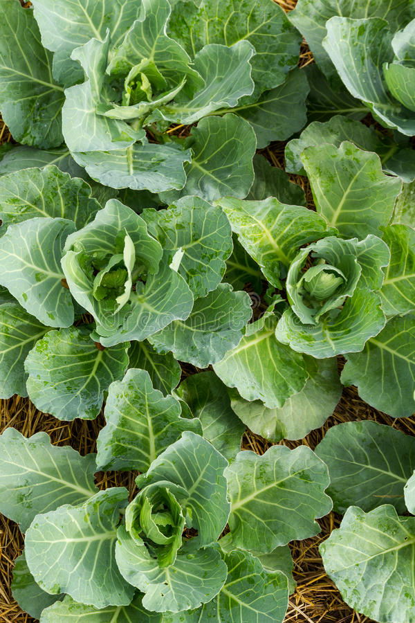 Closeup cabbage. Seedlings grown in a field royalty free stock photo