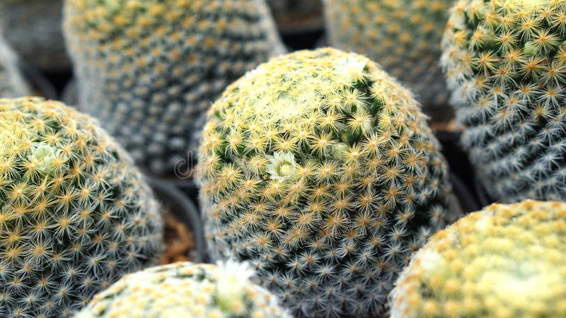 Closeup cactus flowers stock photos