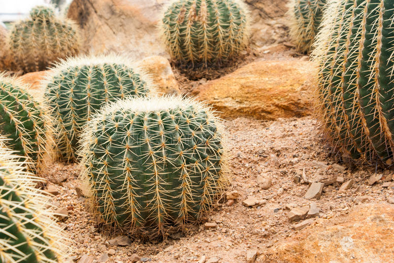 Closeup Cactus. Live in Desert royalty free stock photo