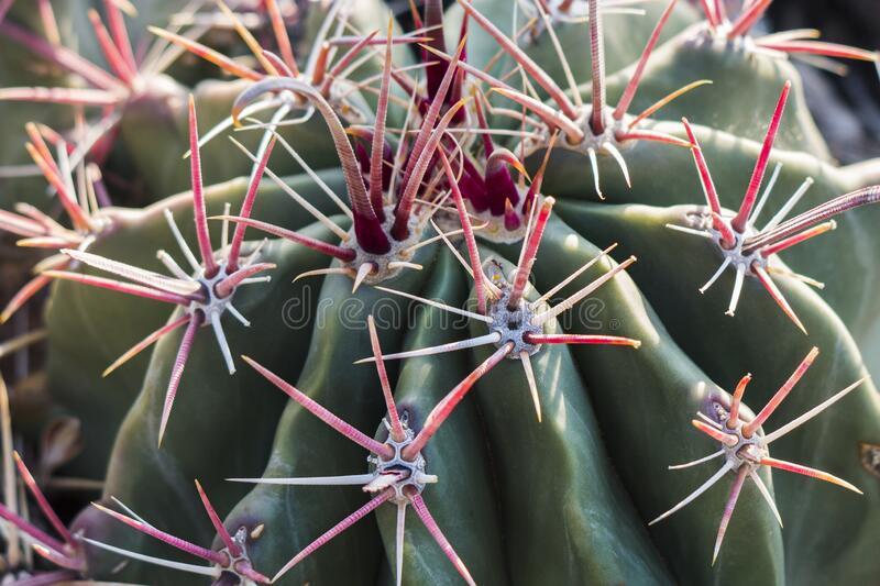 Closeup of a cactus with pink thorns. In the morning sunlight stock photography