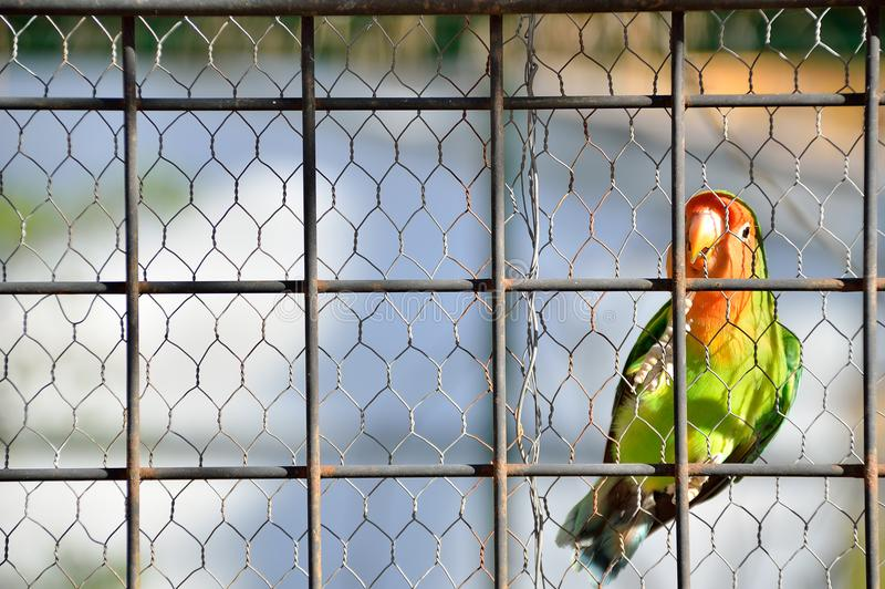 Lovebird lonely caged stock image
