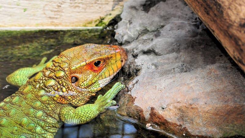 Closeup of a Caiman Lizard royalty free stock image