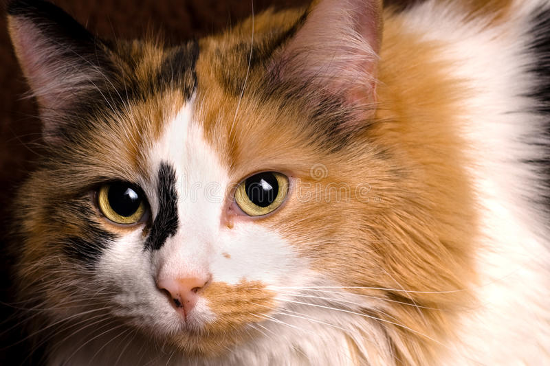 Closeup Of Calico Cat Royalty Free Stock Image