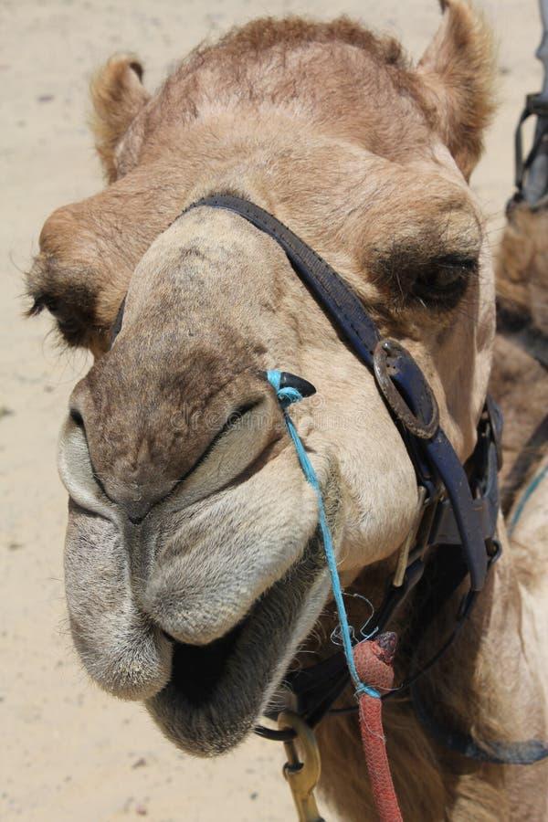 Download Closeup of Camel Head stock photo. Image of animals, arabic - 18002170