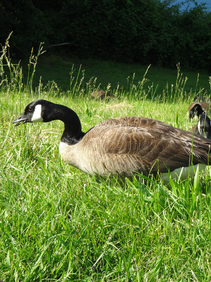 Closeup of Canadian Geese Grazing. In the Grass by a North Carolina Lake royalty free stock image