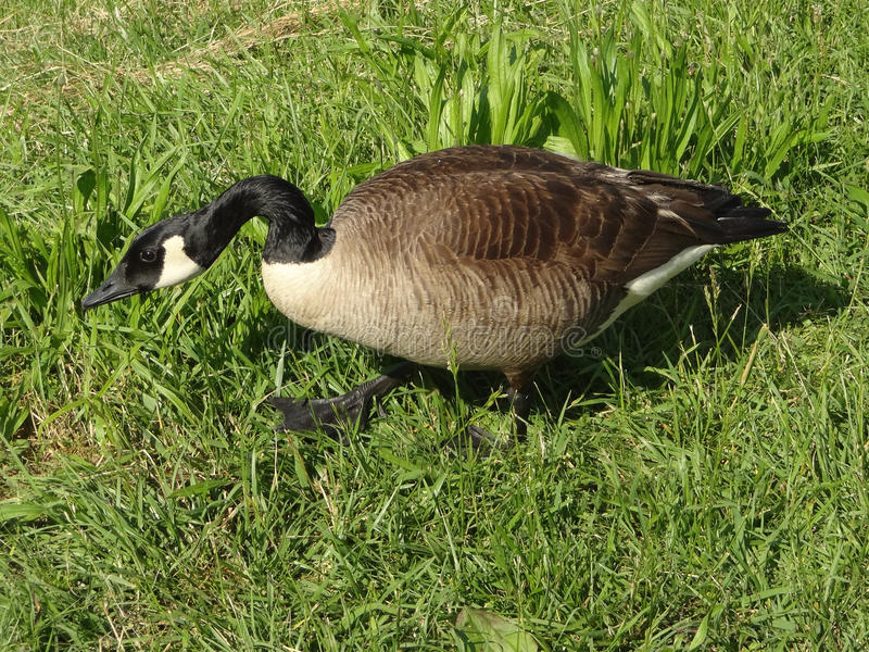 Closeup of a Canadian Goose Grazing. In the Grass on a Sunny Day royalty free stock photo