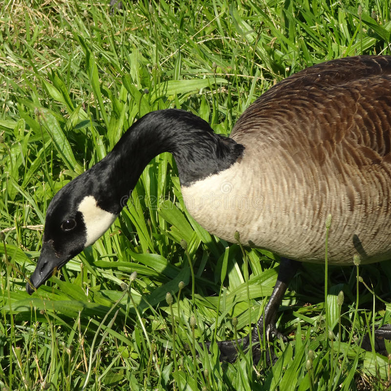Closeup of a Canadian Goose Grazing. In the Grass on a Sunny Day stock images