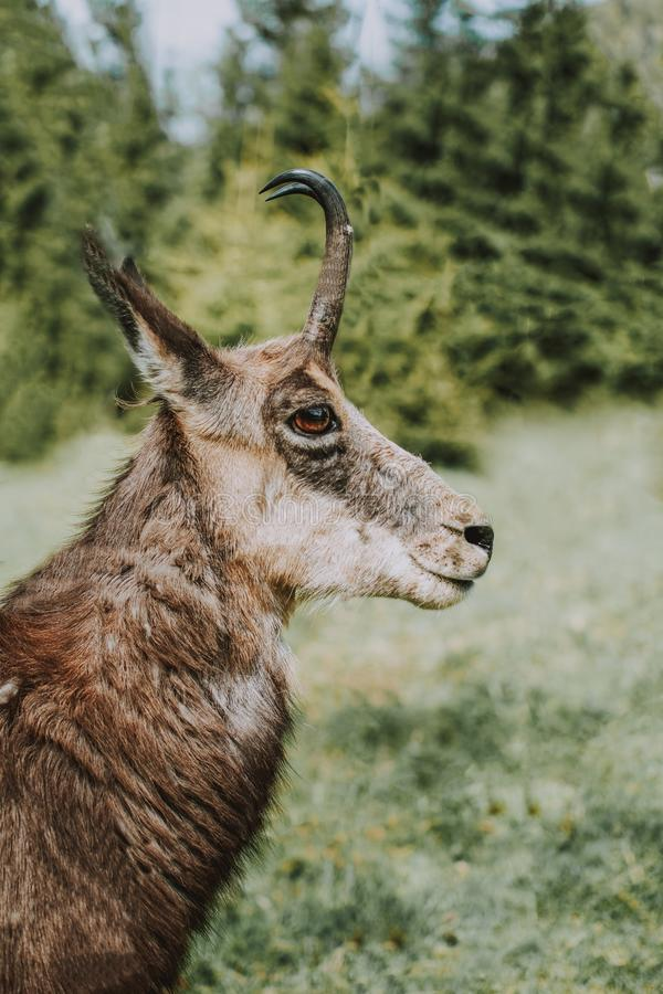Closeup of a Cantabrian chamois also knows as mountain goat antelope with a blurred background. A closeup of a Cantabrian chamois also knows as mountain goat royalty free stock photos