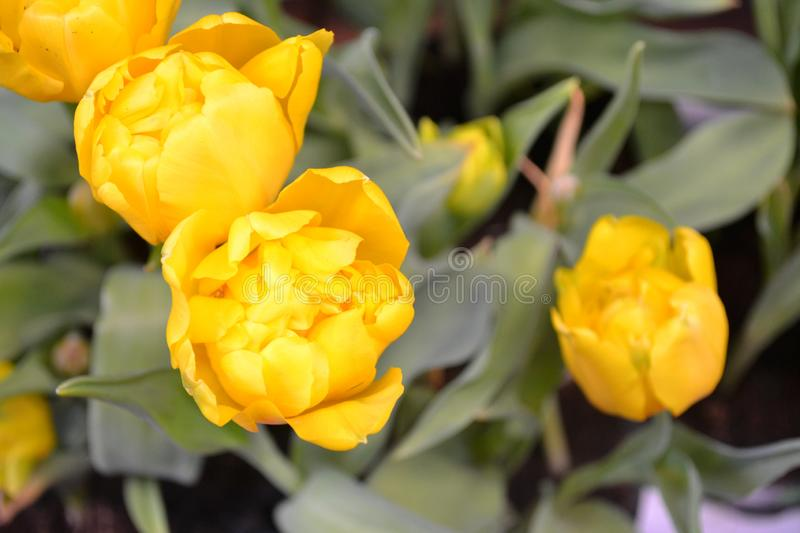 Closeup card of yellow dutch tulips. Floral greeting card. Blank space. Springtime holiday. Summer background royalty free stock photo